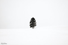 Solitude or Loneliness? (wyojones) Tags: winter snow storm fog pine clouds one solitude alone loneliness branches yellowstone lonely wyoming np snowdrifts lodgepolepine haydenvalley lodgepole wyojones