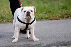 Britanski buldog (British Bulldog)