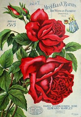 n2_w1150 (BioDivLibrary) Tags: catalogs flowers gardening plantsornamental seedindustryandtrade seeds tradecatalogs usdepartmentofagriculturenationalagriculturallibrary bhl:page=41878758 dc:identifier=httpbiodiversitylibraryorgpage41878758 edwardmawleyrose bhlgardenstories bhlinbloom taxonomy:genus=rosa taxonomy:common=rose
