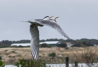 Crested Tern catch