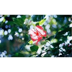 // โปร่งแสง . เดินๆเล่นในสวนที่พม่า มองขึ้นไปเห็นดอกชบาบังแดดไว้ มันก็สวยดี บางทีการถ่ายฟิล์มก็มักเกิดความคิดว่าจะถ่ายหรือไม่ถ่ายดี? แต่ก็ตัดสินใจกดไป มันก็อาจจะได้รูปดอกไม้ธรรมดามารูปนึง แต่เราชอบความรู้สึกลังเลตรงนั้นอยู่บ่อยๆ // c a m e r a : v o i g t