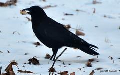 DSC_0368 (rachidH) Tags: snow black nature birds nj corneille neige sparta crow oiseaux corvusbrachyrhynchos americancrow corbeau corvus corvidae corneilledamrique rachidh