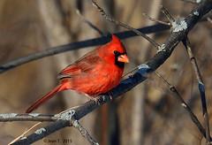Cardinal rouge  / Northern Cardinal (anjoudiscus) Tags: canada bird nature jean cardinal wildlife qubec boucherville janvier oiseau d800 cardinaliscardinalis northerncardinal 2015  lesdeboucherville cardinalrouge afsnikkor80400mmvr