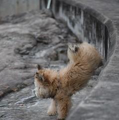 jump (sabinakurt62) Tags: dog pet beach beautiful bondi animal fauna spring jump furry nikon sydney australia