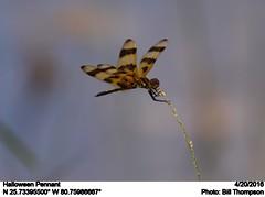 Halloween Pennant (Bill.Thompson) Tags: dragonflies insects fl halloweenpennant celithemiseponina