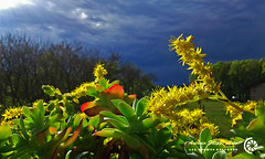 Spring and clouds (filippi antonio) Tags: flowers italy primavera nature yellow clouds spring italia nuvole natura giallo fiori lombardia tradate