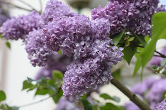 Pachncy bez (Krzysztof Lis from Poland) Tags: nature nikon superb lilac simply 50 afs nikor apsc
