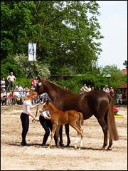 Day 143 (kostolany244) Tags: horses sunshine germany europe moments may foal day143 geo:country=germany kostolany244 canonixus500hs 366the2016edition 3662016 2252016 moments2016