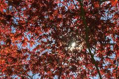 In die Sonne geblinzelt. (uwe.potsdam) Tags: sommer sonne gegenlicht ahorn