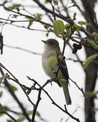 Willow Flycatcher (J.B. Churchill) Tags: birds broadfordlake flycatchers garrett maryland places taxonomy wifl warblers willowflycatcher yewa yellowwarbler oakland unitedstates us