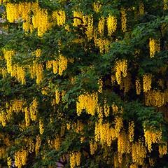 Rhythm (ohank1951) Tags: green yellow groen geel rhythm goudenregen hanginaround goldenrain ritme laburnumanagyroides ritmiek