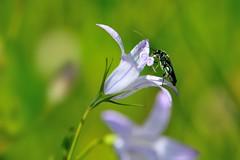 Oedemera nobilis (luporosso) Tags: flowers naturaleza flower macro nature fleur closeup wednesday insect nikon flor natura fiori fiore insetto naturalmente abigfave nikond300s