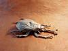 Samuraï helmet beetle mai 2016 -1 (Rémygamiste) Tags: paper insect origami beetle fold samuraï