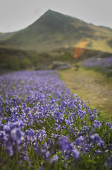 Rannerdale Bluebells Below Whiteless Pike (mark_airey - need more hours in the day!) Tags: morning flowers sunlight beautiful sunshine bluebells spring nikon lakedistrict depthoffield tokina cumbria realaxing rannerdale d7000