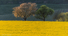 spring evening (hgviola ) Tags: light sunset yellow golden evening abend licht vineyard spring nikon sonnenuntergang gelb d750 colourful farbig goldenhour frhling weinberg rapeseed 70200mm rapsfeld hgviola