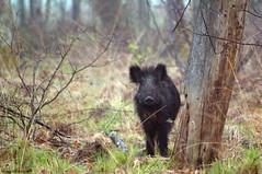 Petit cochon (Phil du Valois) Tags: chambord libre compagnie rousse domaine noire sauvage faune sanglier bte