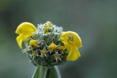 Phlomis fruticosa (myu-myu) Tags: flower nature japan spider nikon mygarden  d800 jerusalemsage  phlomisfruticosa