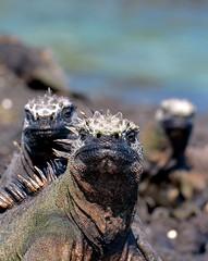 Marine Igianas - Fernandina Island, The Galapagos (One more shot Rog) Tags: nature island marine wildlife godzilla safari prehistoric colony marineiguanas iguanaiguanalizardreptilesscalesscalyseagalapagosgalapagos islandsfernandinafernandina