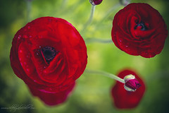 Red Ranunculus (Silke Gabrielle Photography) Tags: red plant flower nature garden spring grow ranunculus bloom redranunculus