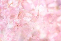 Flora Plenteous 58 (pni) Tags: flower suomi finland helsinki multipleexposure sakura helsingfors tripleexposure multiexposure skrubu pni pekkanikrus