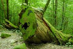 Yakushima #6 (k_t) Tags: green forest cedar yakushima mossy yaku