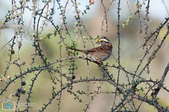 Branches (grimaux.jordan) Tags: bird nature yellow branches tail beak feather sparrow zonotrichia whitethroated albicollis