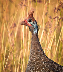 Helmeted Guineafowl (Rod Waddington) Tags: africa bird nature kenya african wildlife nairobi afrika avian guineafowl afrique helmeted