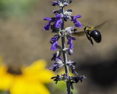 Bee_SAF7751-2 (sara97) Tags: nature insect outdoors bee missouri saintlouis citypark towergrovepark urbanpark pollinator photobysaraannefinke copyright2016saraannefinke
