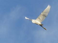 Little Egret (ukstormchaser (A.k.a The Bug Whisperer)) Tags: sunlight bird heron birds animals june evening flying moving little wildlife flight brook milton keynes egret herons egrets