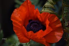 Poppy (heikecita) Tags: nikon d7200 poppy plant blossom nature natur mohn rot red blume pflanze outdoor makro macro