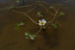 P1170855 (Xavier Bjar) Tags: pond ranunculus balsa tajo teruel bassa charco albarracn baudotii ranunculusbaudotii navaseca nacimientodelrotajo vegadeltajo