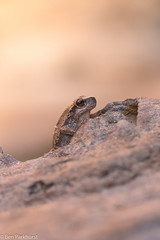 Desert Tree Frog (Litoria rubella) (BenParkhurst) Tags: park tree stone desert australia amphibian frog national western wa range kennedy arid litoria rubella