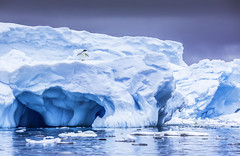 A Bird On A Berg (Baron Reznik) Tags: ocean bird ice nature water horizontal landscape penguin day wildlife antarctica aves adventure remote iceberg polar 企鵝 自然 seaice pingüino 자연 冰 pygoscelis colorimage adelie 鸟 pygoscelisadeliae 펭귄 새 polarregion adéliepenguin 野生动物 얼음 冰山 極地 남극 avialae 모험 yalourislands 빙산 wilhelmarchipelago frigidzone 야생동물 南极洲 海冰 rumplegged 극지 阿德利企鵝屬 해빙 阿德利企鵝 austrodyptornithes 亞勒群島 아델리펭귄 젠투펭귄속 tamromsp150600mmf563divc 威廉群島