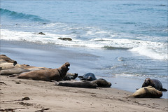 Elephant Seal (mjefferson111) Tags: ocean california sea usa elephant beach water mammal sand san wave seal simeon 2015