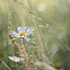 (mennomenno.) Tags: flowers spring natuur wildflowers marguerite lente bloemen margriet