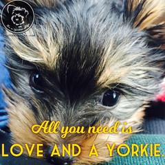 I have everything I need. Click LIKE if you do too. (itsayorkielife) Tags: yorkiememe yorkie yorkshireterrier quote