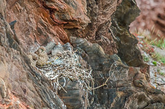 Kestyrel nest 1 (Matchman Devon) Tags: kestrel nest chick south hams devon