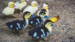 Farm ducklings (Mo Khalifa) Tags: elparaiso arauca colombia duck ducks ducklings pato pata patos pastas patitos patitas ente enten wildlife animal animals farm life cute finca tiere animales