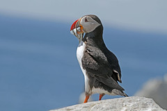 Atlantic Puffin (Alan Gutsell) Tags: summer canada bird nature alan island fishing wildlife atlantic breeding puffin machias atlanticpuffin alcids