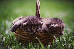 ten days old (Angelo Petrozza) Tags: cats gattini pair micio erba green prato pentax 100mm natura nature focus