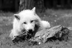 Arctic wolf (My Planet Experience) Tags: wild portrait white nature animal mammal wolf wildlife conservation arctic species endangered polar predator wolves biodiversity canislupus iucn redlist canislupusarctos wwwmyplanetexperiencecom myplanetexperience