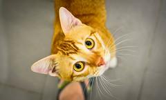 Eye of the Jewel (BHiveAsia) Tags: cat cats feline felines kitten kitty animal animals pet pets wild life wildlife portrait nature cute