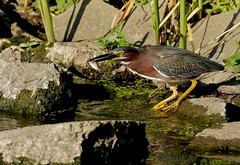 Expert (Slow Turning) Tags: summer food bird water fishing feeding eating hunting captured wading southernontario greenheron butoridesvirescens