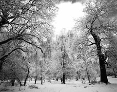OakForestandElCapatainYosemite (hbphototeach) Tags: approved winter snow storm yosemitenationalpark california sierranevada mountains oaktrees blackandwhite elcapitan nature landscape mediumformat film bronicags1