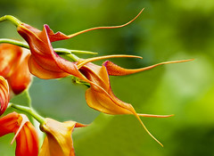 Masdevallia Orchids (Roniyo888) Tags: orange orchid monkey face dracula simia masdevallia