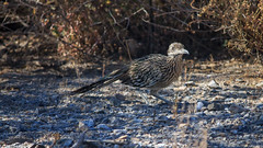 East Saguaro National Park - Roadrunner (adzamba) Tags: 2016 tucson arizona unitedstates usa bipbip bird cactusforestrd geococcyxcalifornianus roadrunner saguaronationalpark uccello