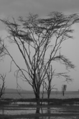 Where (jhderojas) Tags: tree kenia lake nakuru black white