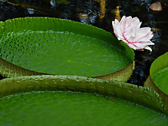 DSCN0454 Dynamic Leaves of Giant Water Lily (tsuping.liu) Tags: outdoor nature naturesfinest natureselegantshots blackbackground lighting plant giant leaves petal aquaticplant
