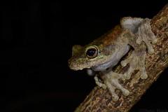 Green-eyed Tree Frog (Litoria serrata) (shaneblackfnq) Tags: greeneyed tree frog litoria serrata amphibian shaneblack mossman fnq far north queensland australia tropics tropical rainforest green eye