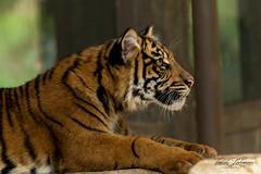 Debbie (ToddLahman) Tags: debbie tigers tiger tigertrail tigercub teddy joanne sandiegozoosafaripark safaripark canon7dmkii canon canon100400 closeup